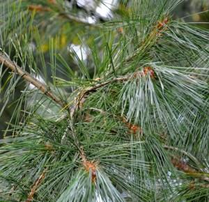 Pinus Peuce Silkefyr