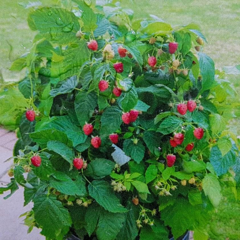 Hindbær Patio Red