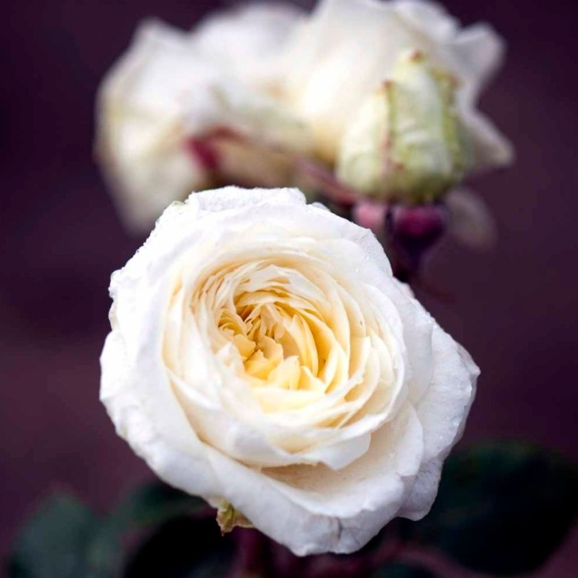 Claus Dalby rose