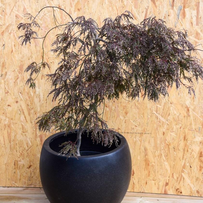 Acer palmatum Garnet Japansk Dværgløn