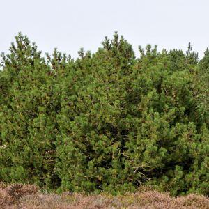 Pinus Mugo Bjergfyr hæk