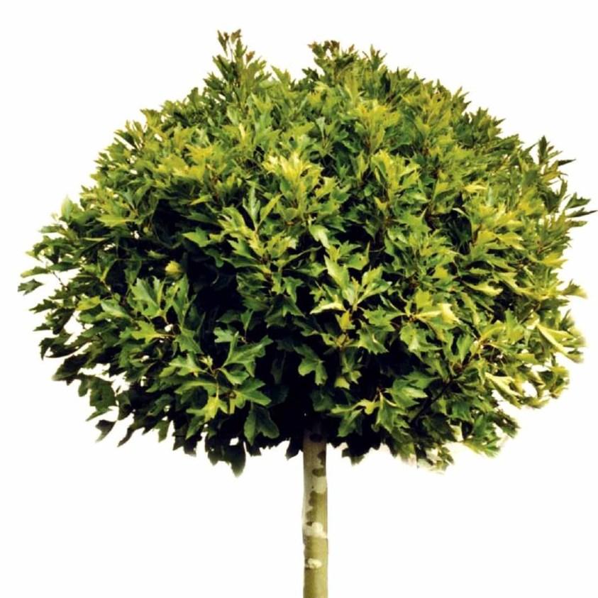 Platanus Acerifolia Alpens Globe Platan