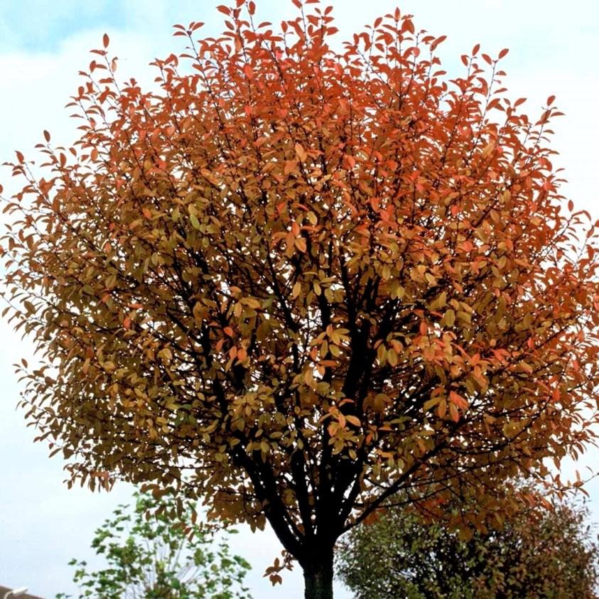 Prunus Eminens Umbraculifera Kugel kirsebær