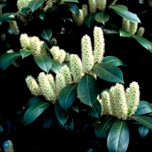 Prunus Laurocerasus Caucasica Laurbærkirsebær