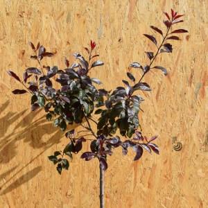 Prunus Cistena Dværg Blodblomme