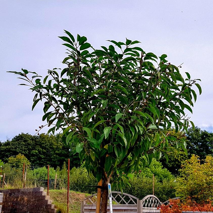 Prunus Lusticania Angustifolia Portugisisk Kirsebærlaurbær