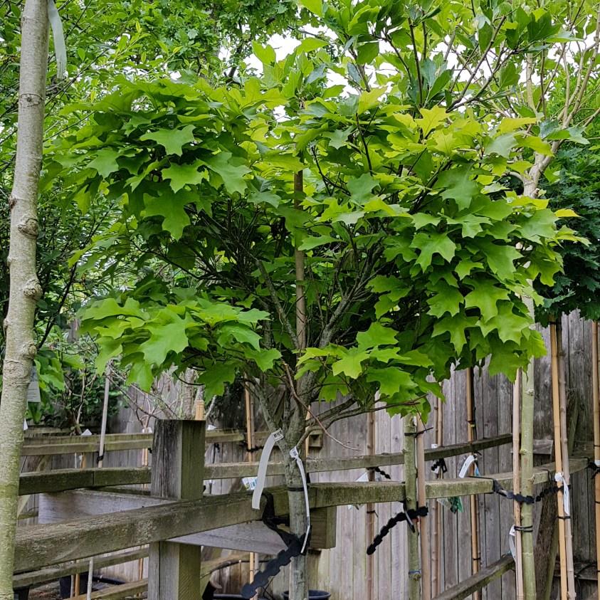 Quercus Green Dwarf Sump eg