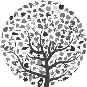 Quercus rubra borealis Rød eg