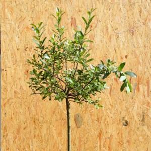 Salix Rotkäzchen