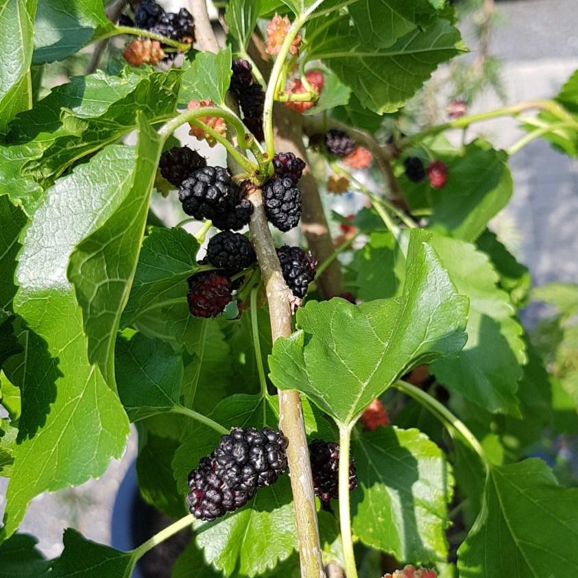 Morus rotun Mojo Berry Morbær