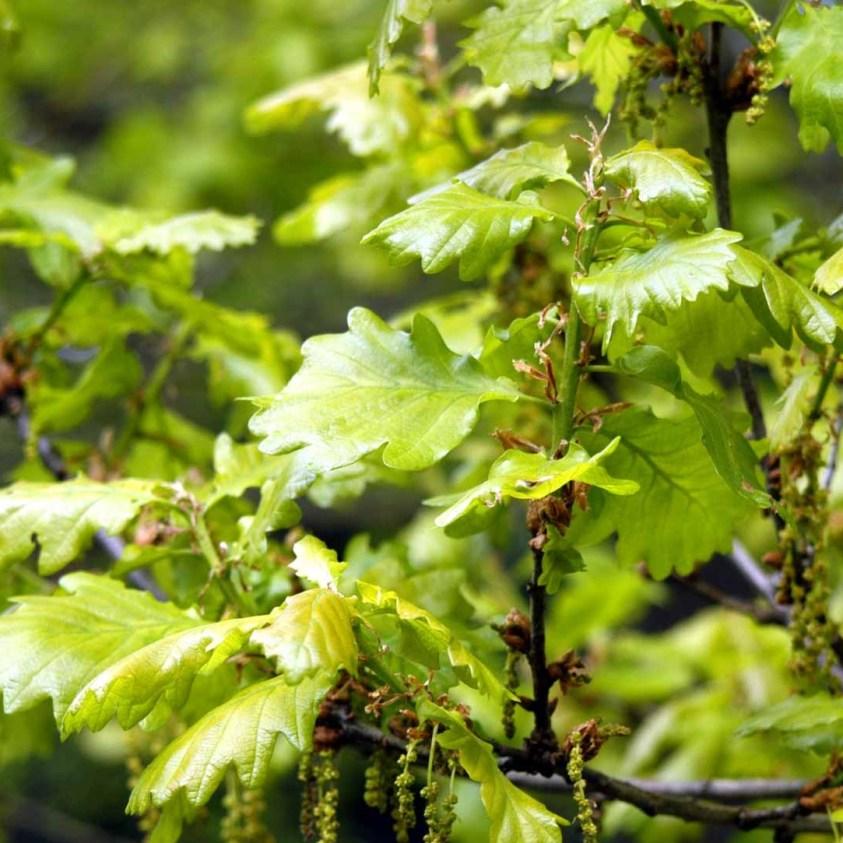 Quercus Petraea Eg hæk