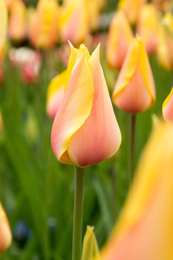 Tulipan Blushing Beauty