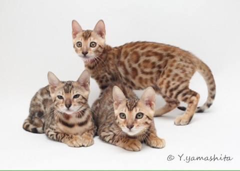 ベンガル猫ひとなつこい