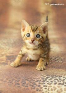 ベンガル猫のグリッター