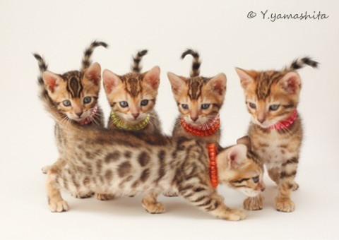 ベンガル子猫5匹