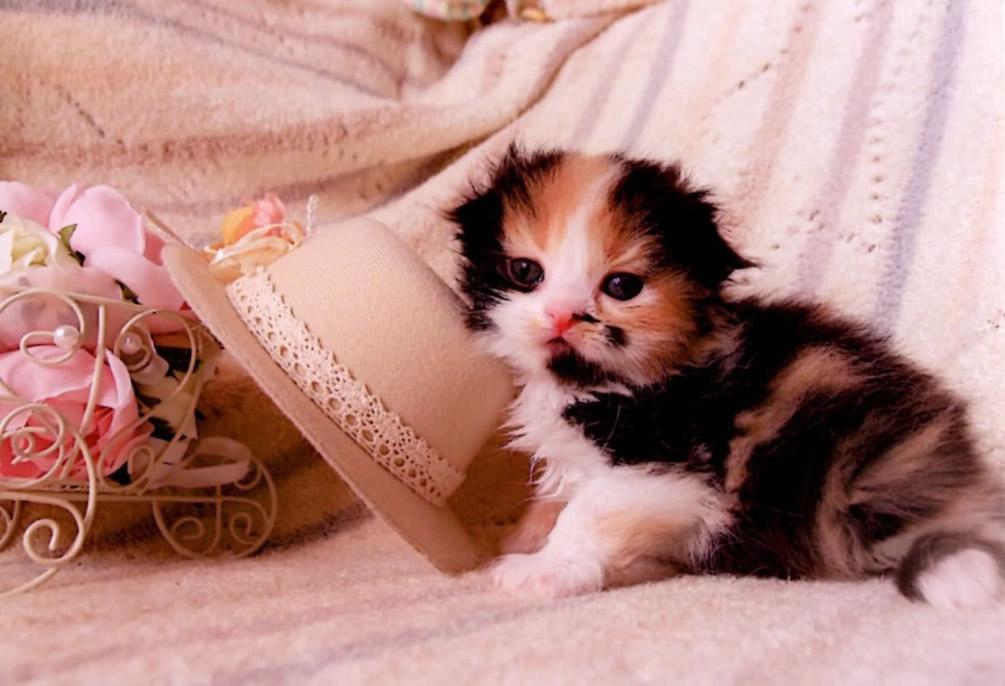 スコティッシュフォールド子猫6