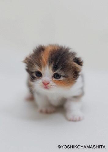 スコティッシュフォールド子猫5