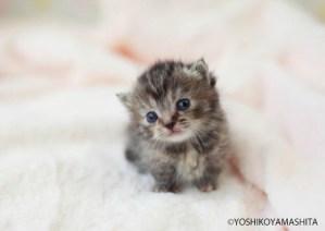マンチカン短足子猫グレー