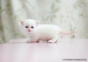 マンチカン短足白い子猫