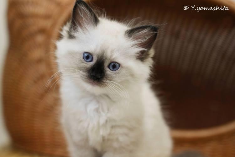 ラグドール子猫3