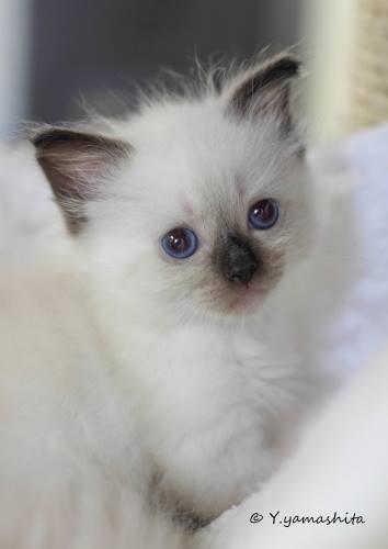 ラグドール子猫4