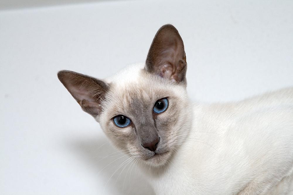 ライラックポイントシャム猫