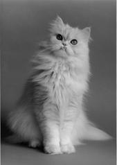 ペルシャの白い猫