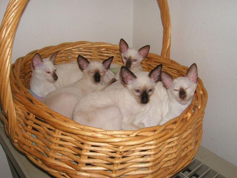 シールポイント子猫シャム猫