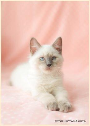 ラグドール子猫7