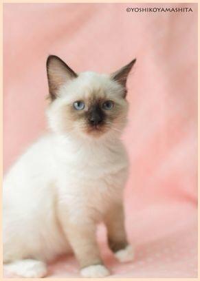 ラグドール子猫8