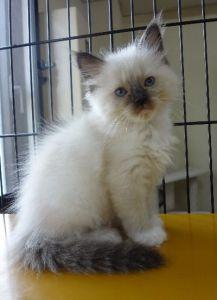 ラグドール子猫12