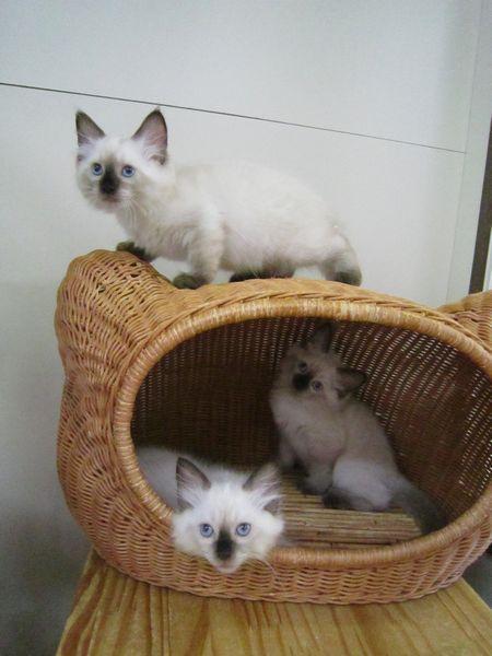ラグドール子猫