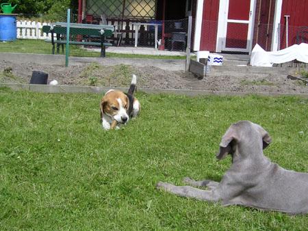 Vuxen beagle bemöter valpteknik (1/5)