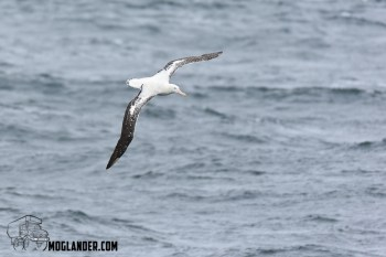 Wandering Albatros have a wingspan greater than 3 metres