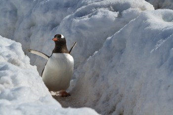 These guys make deep tracks in the snow over the winter in Antarctica