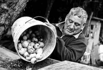 Loading apples into the pulping machine