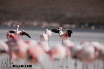 Flamingos holding their wings open to warm up in the morning sun