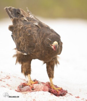 Lunchtime for this Galapagos hawk