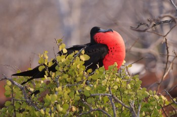 Male frigate bird in full plumage