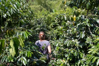 Sarah walking through the coffee plants
