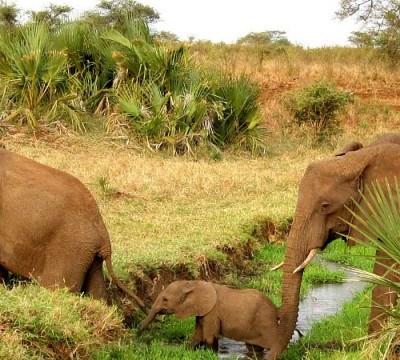 elephants in naboisho