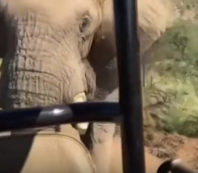 Schwarzenegger charged by elephant