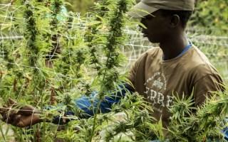 Black farmers medical cannabis college Malawi