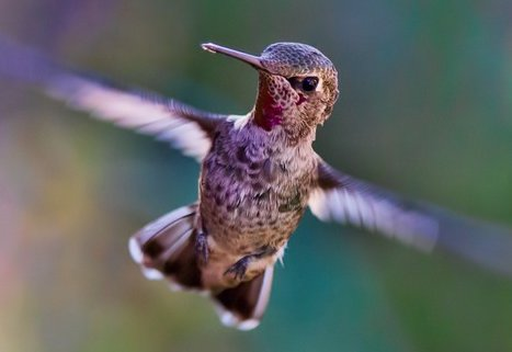 hummingbird flying-691483_960_720