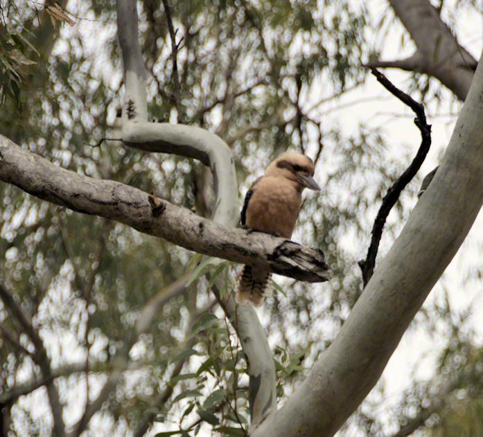 M-B12-Kookaburra