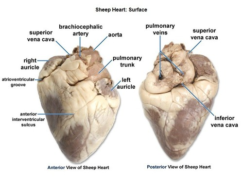 sheep brain diagram biology corner 86 honda spree wiring heart