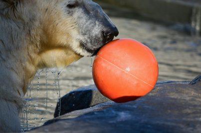Eisbär und sein Lieblingsball Kopenhagen Zoo