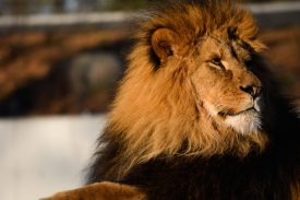 Lion in the sun Kopenhagen Zoo