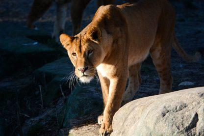 Lioness Kopenhagen Zoo