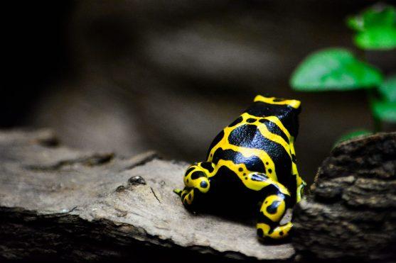 Poison Frog Kopenhagen Zoo